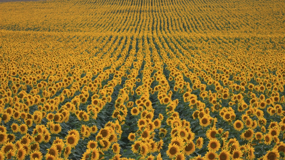 Sunflower Field Pictures HQ
