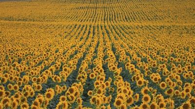 sunflower fields sunflower teams background
