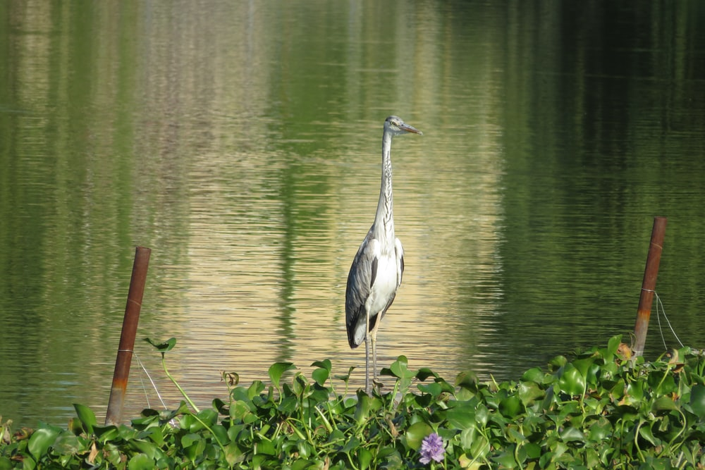 white and gray bird in body of water