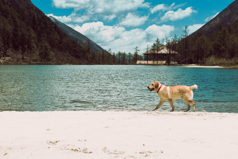 brown dog walking beside shore