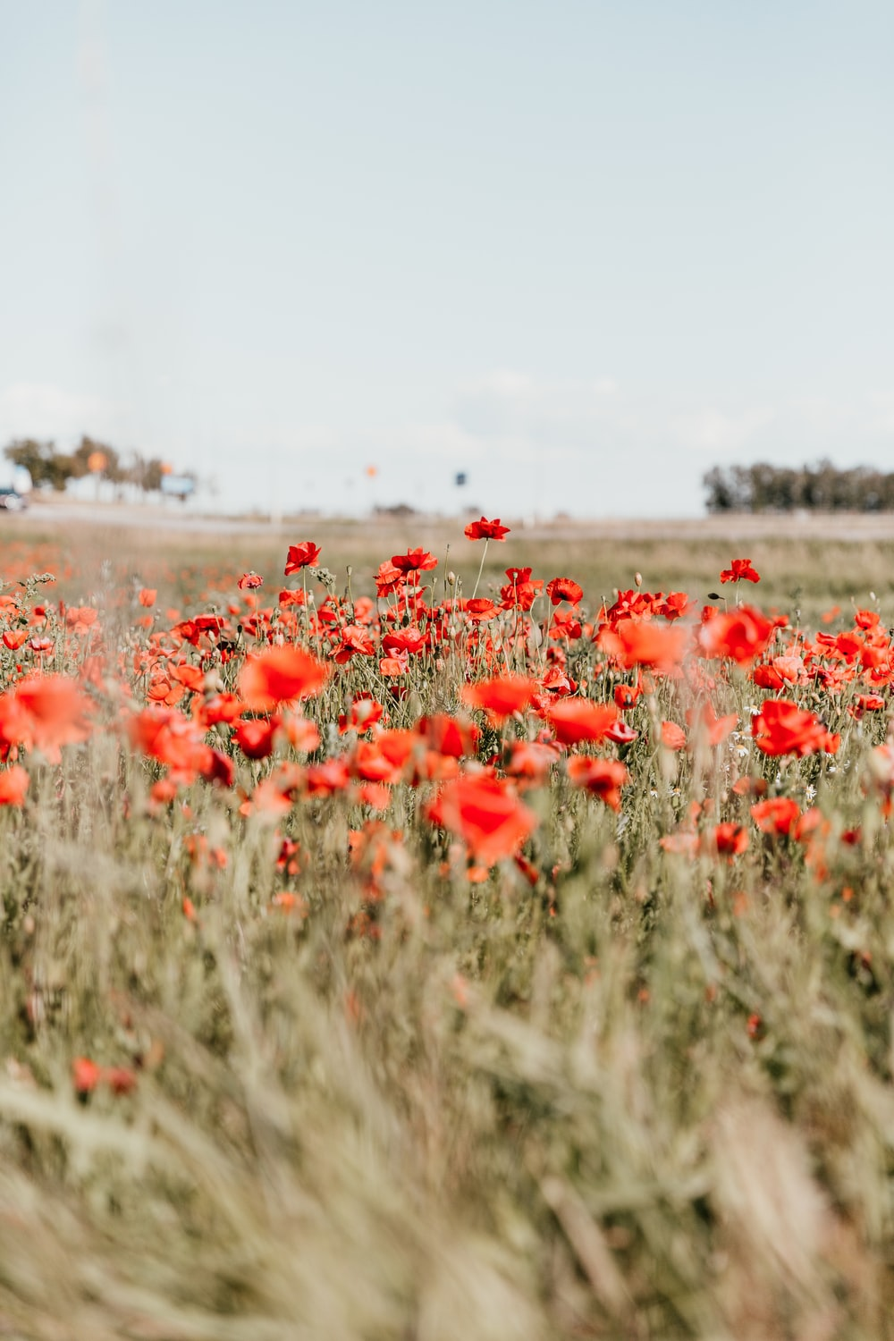 red poppy flowers field blooming at daytime