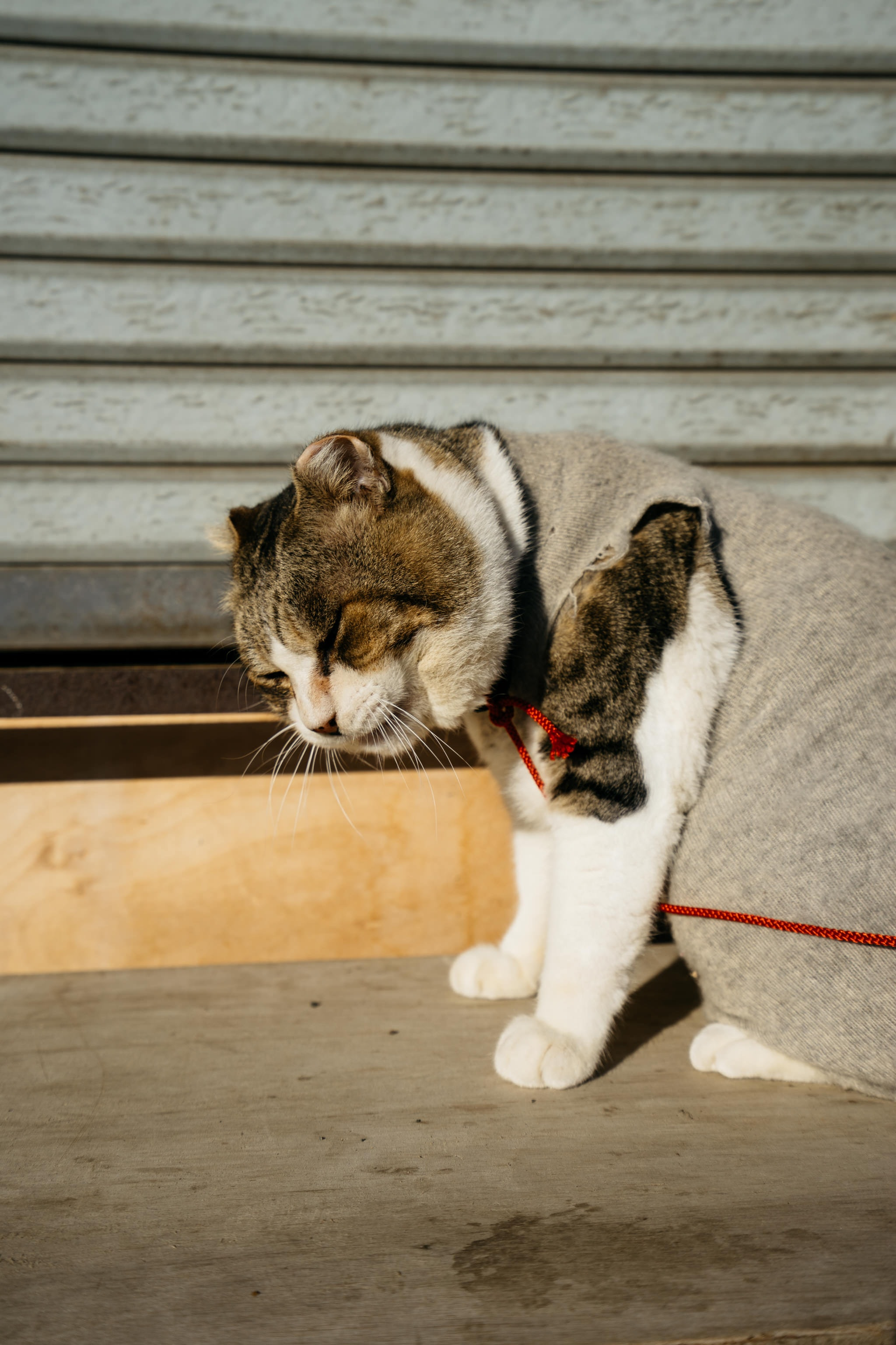 gray and white cat wearing gray apparel sitting near gray wooden wall