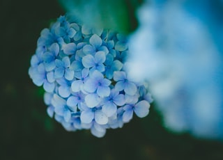 selective focus photo of blue hydrangeas