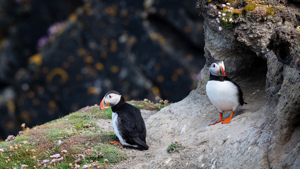 selective focus photograph of two puffin birds