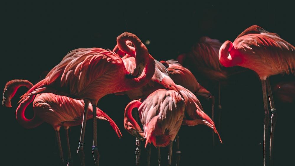 photography of flamingos