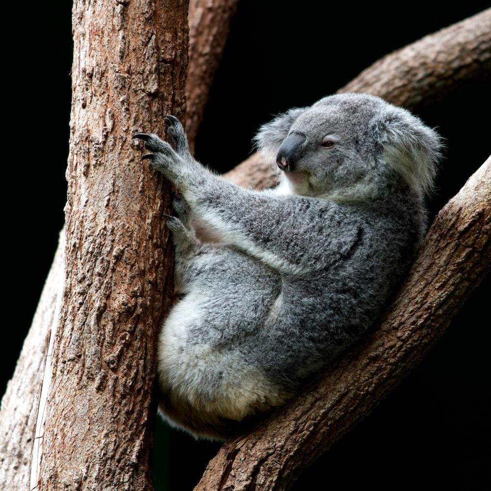 gray koala perching on tree
