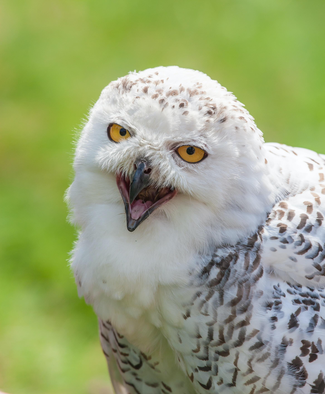 wildlife photography of snowy owl