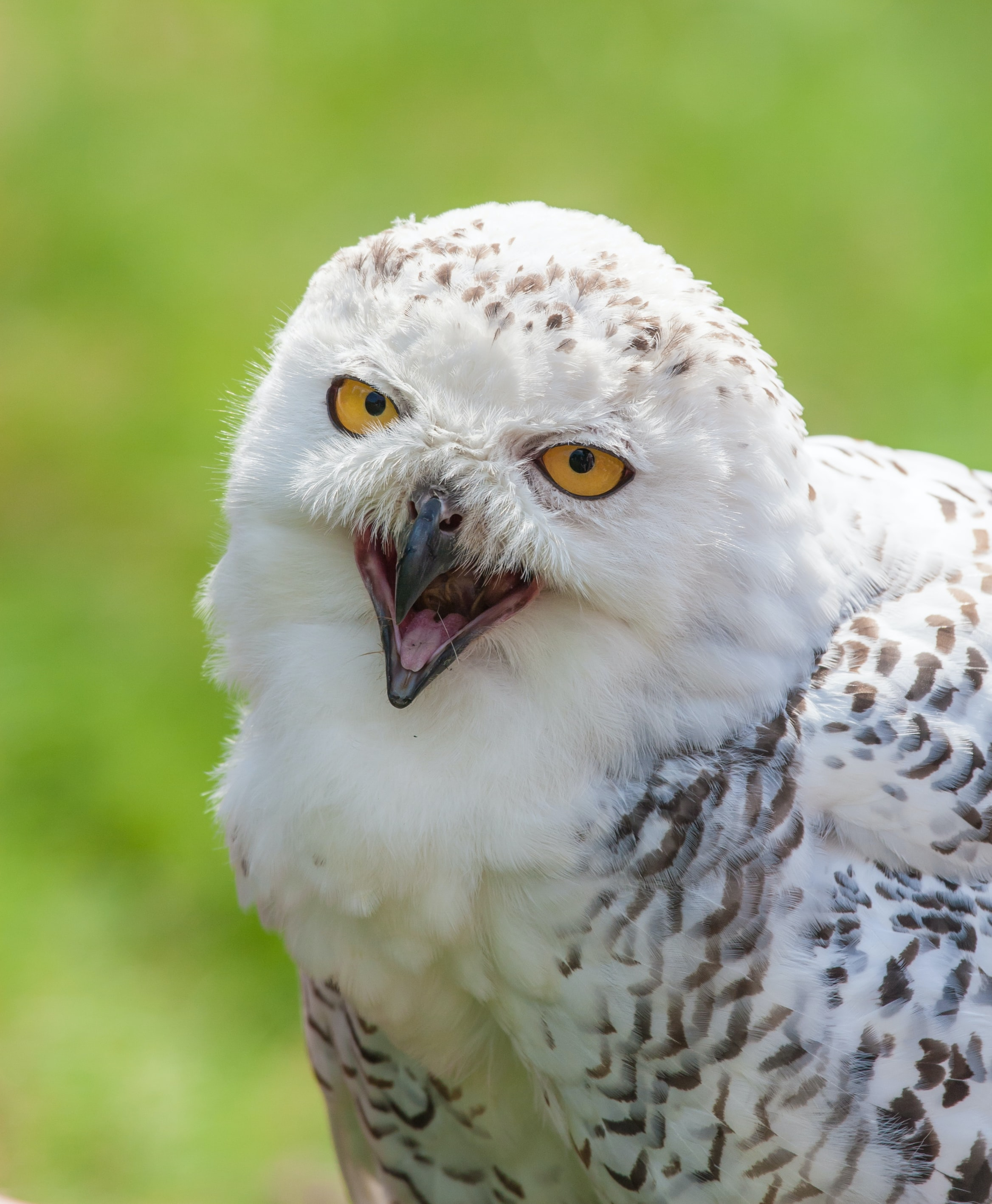 wildlife photography of snowy owl