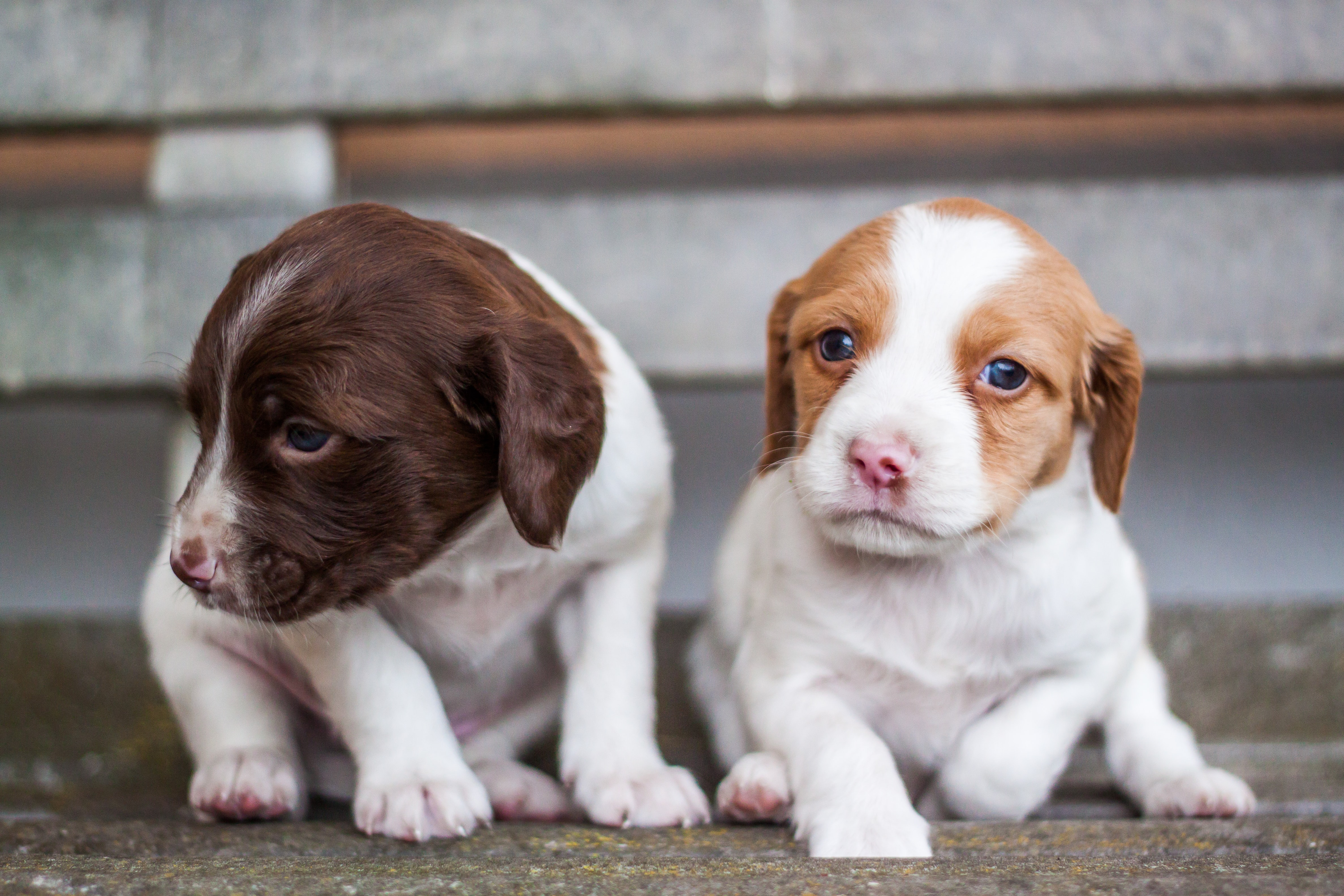 two short-coated puppies on pavement