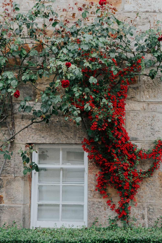 flowering vines on building's wall