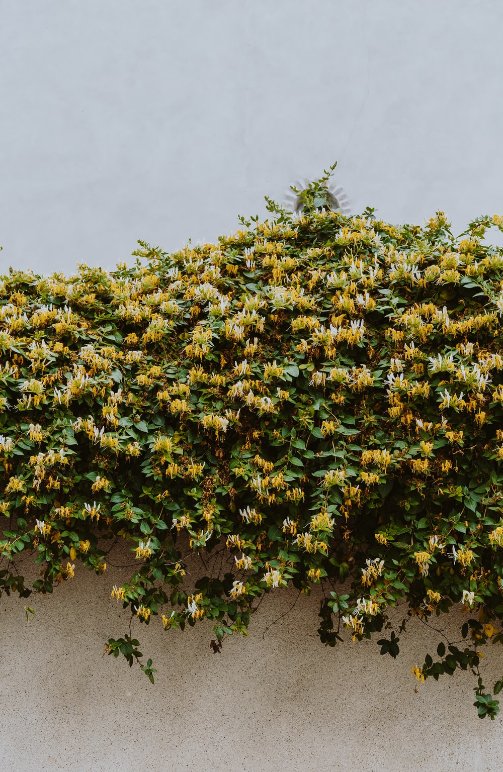 person taking photo of yellow flowers on wall