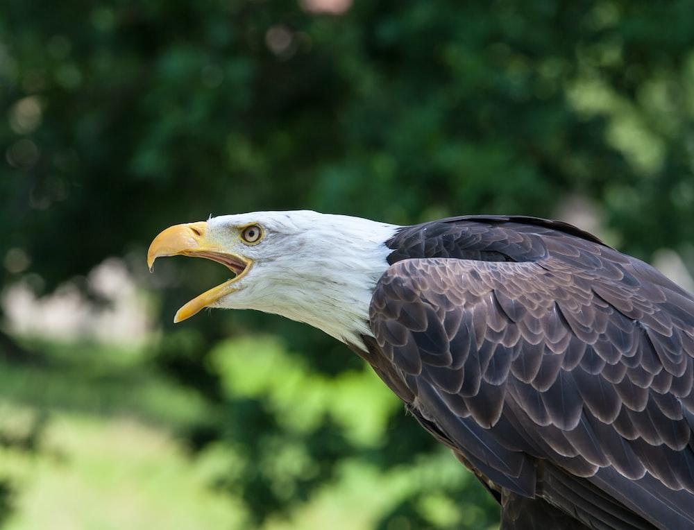 black bald eagle