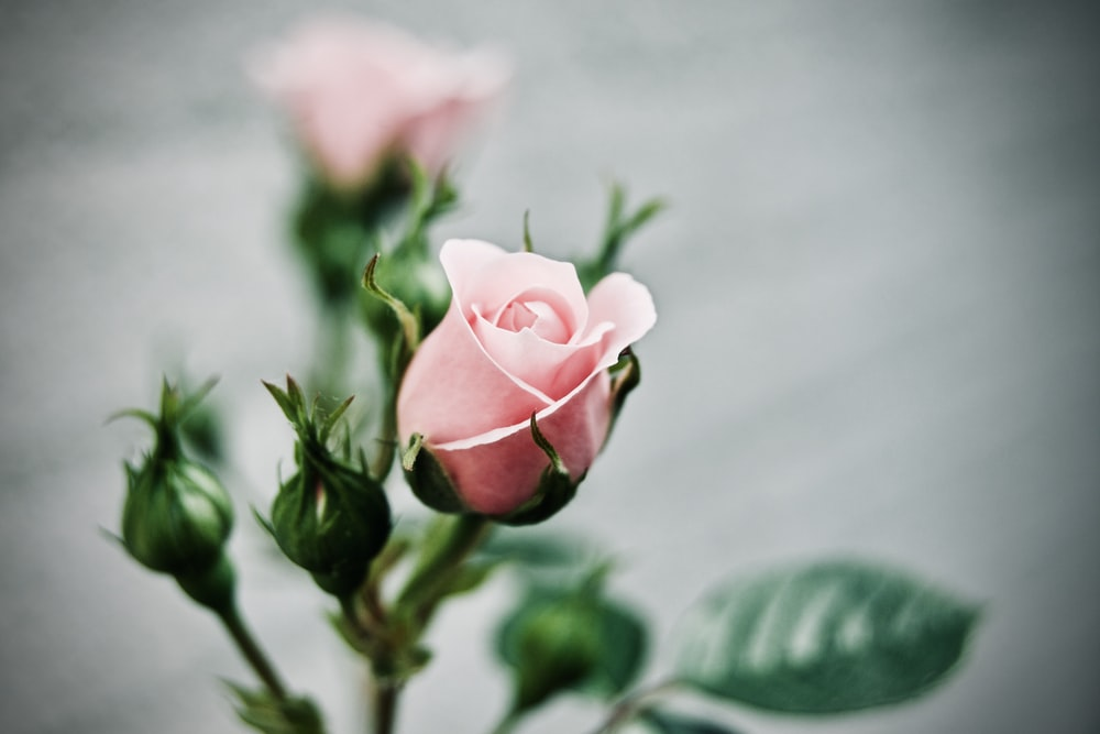 depth of field photography of pink rose