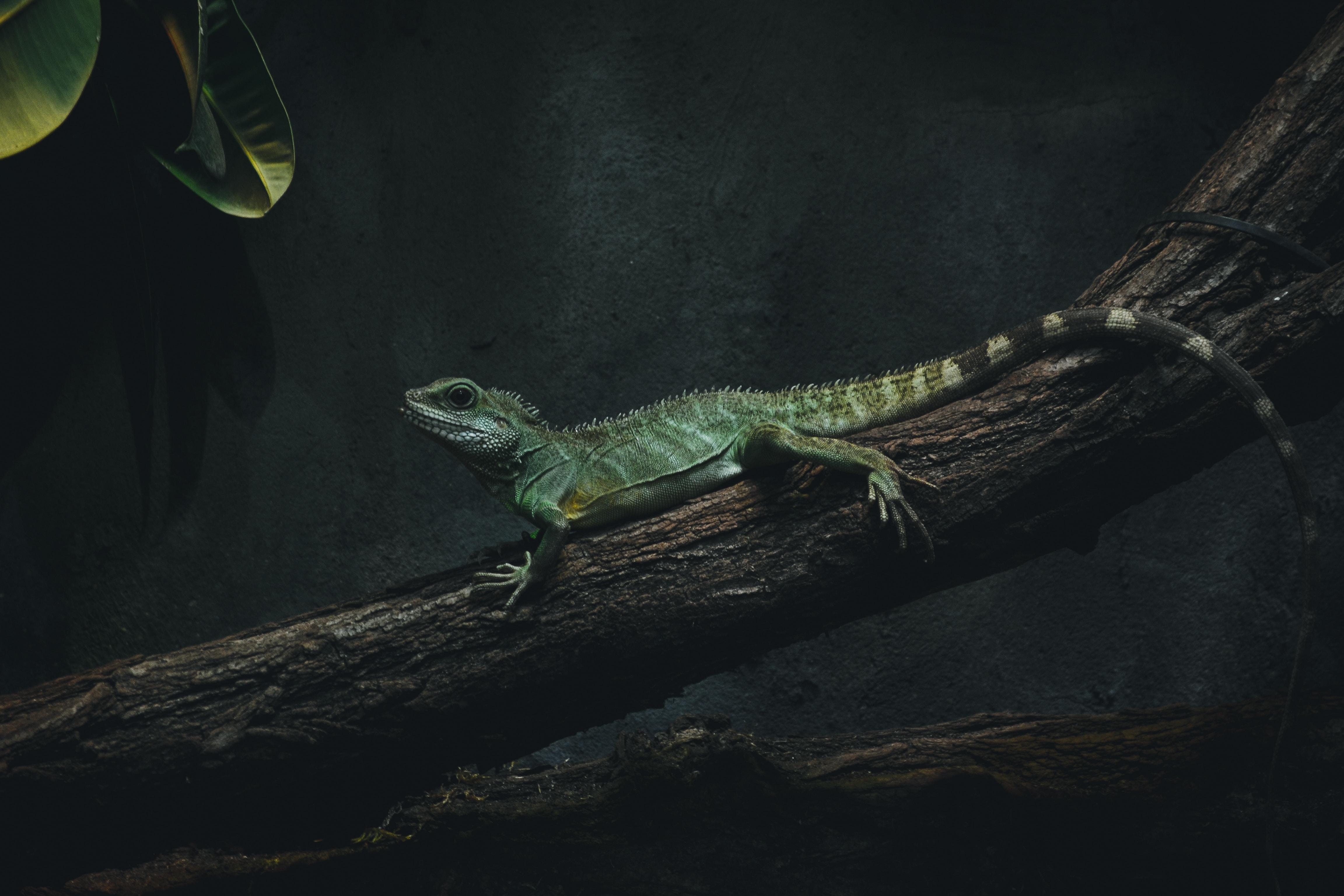 photo of lizard on tree branch