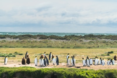 penguins on land during daytime chile teams background