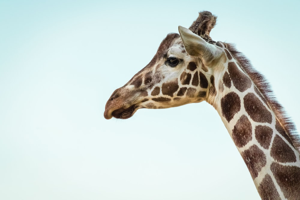 photo of a giraffe