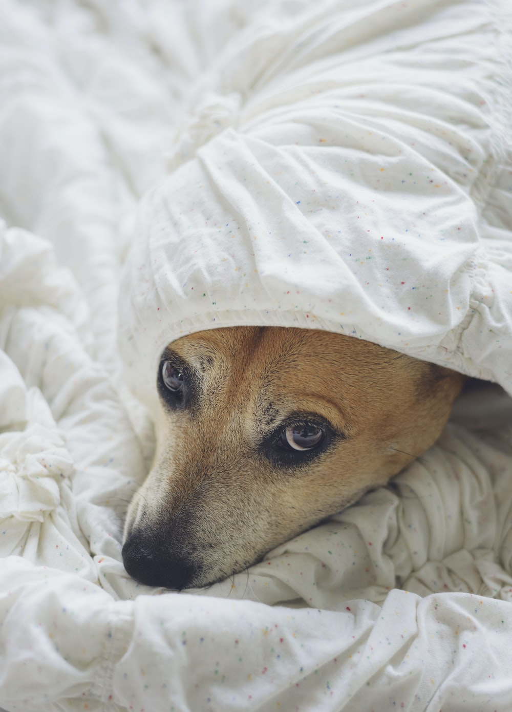 dog covered with white textile