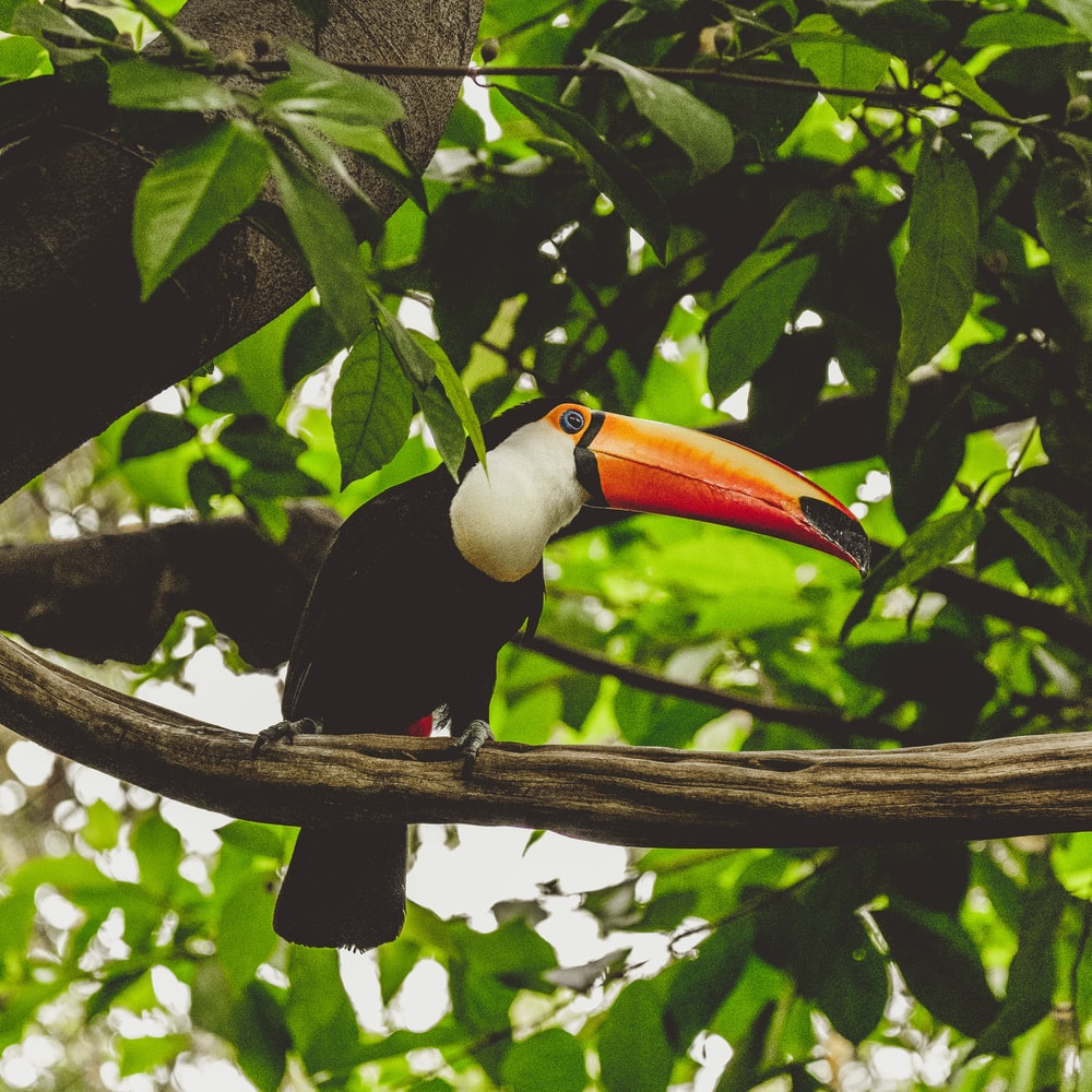 toucan on tree branch