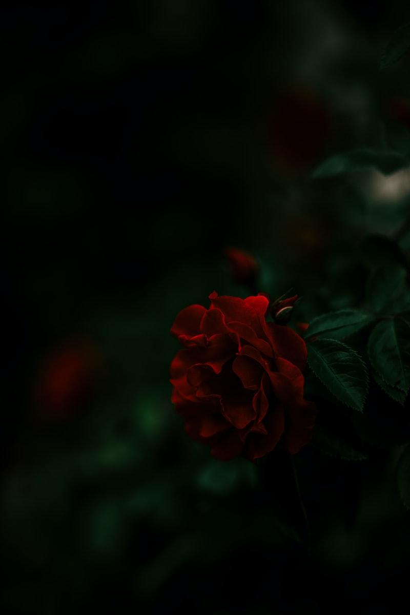 女武神的黑玫瑰 女武神 藍月外傳 修龍 花組