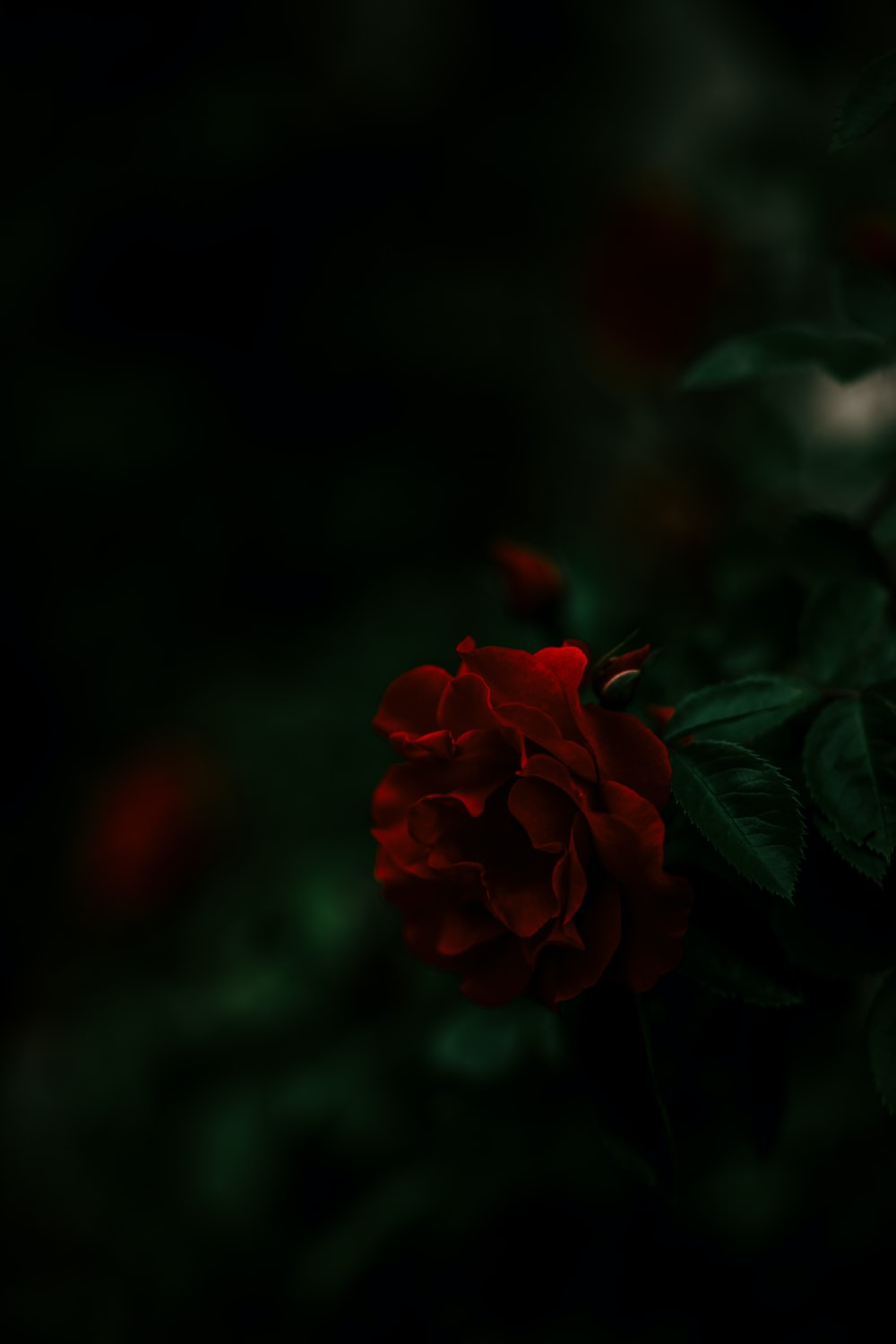 close up photography of red rose flower during daytime