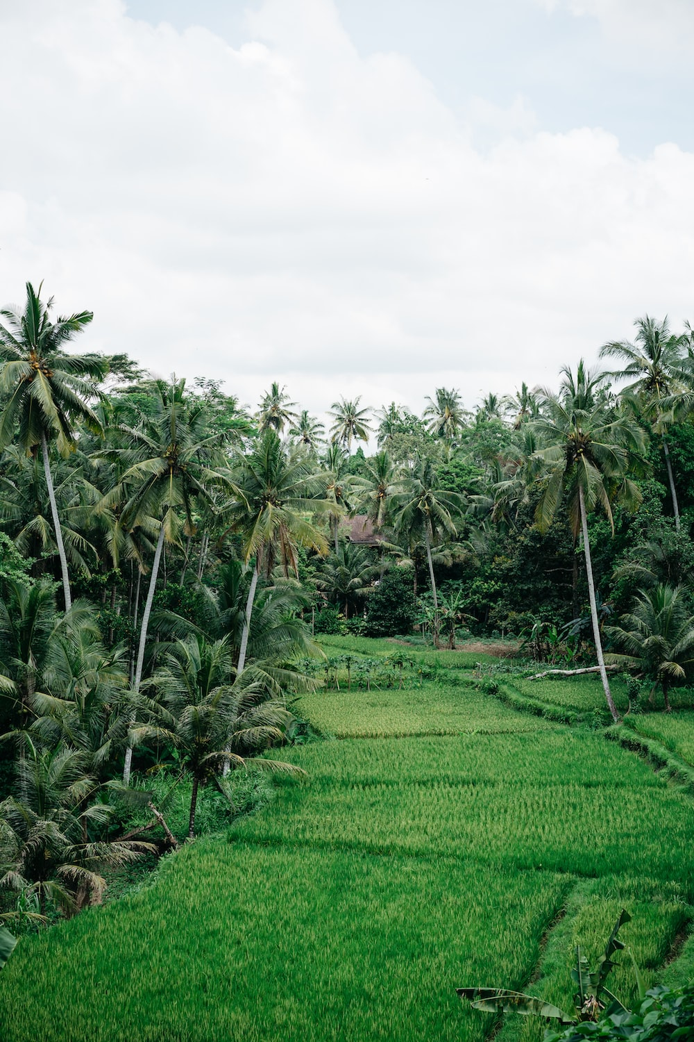 tropical trees between rice field