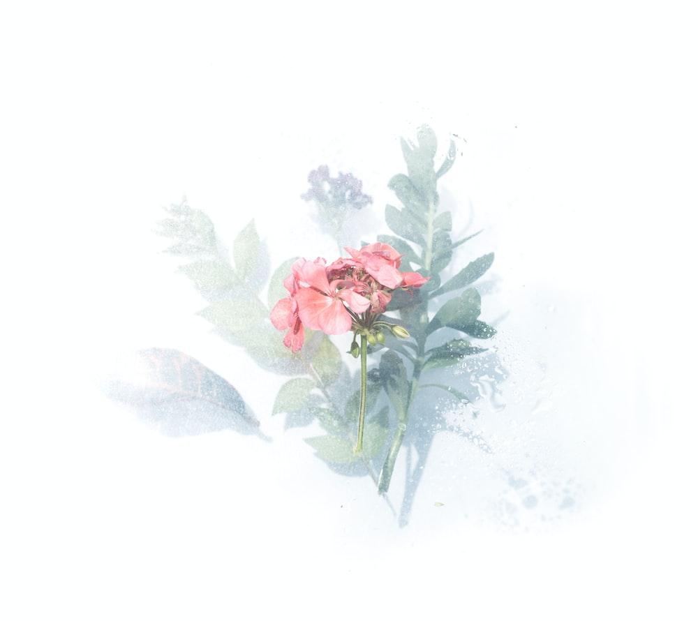 pink petaled flower digital wallpaper