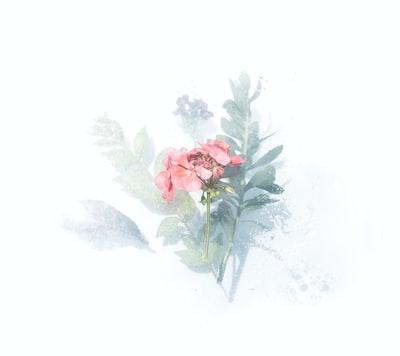 pink petaled flower digital wallpaper watercolor teams background