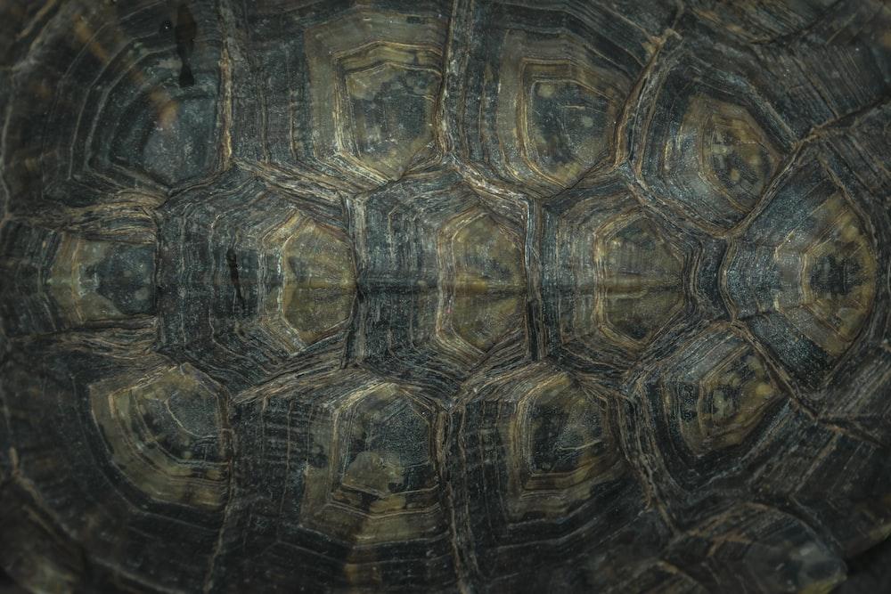 black turtle shell