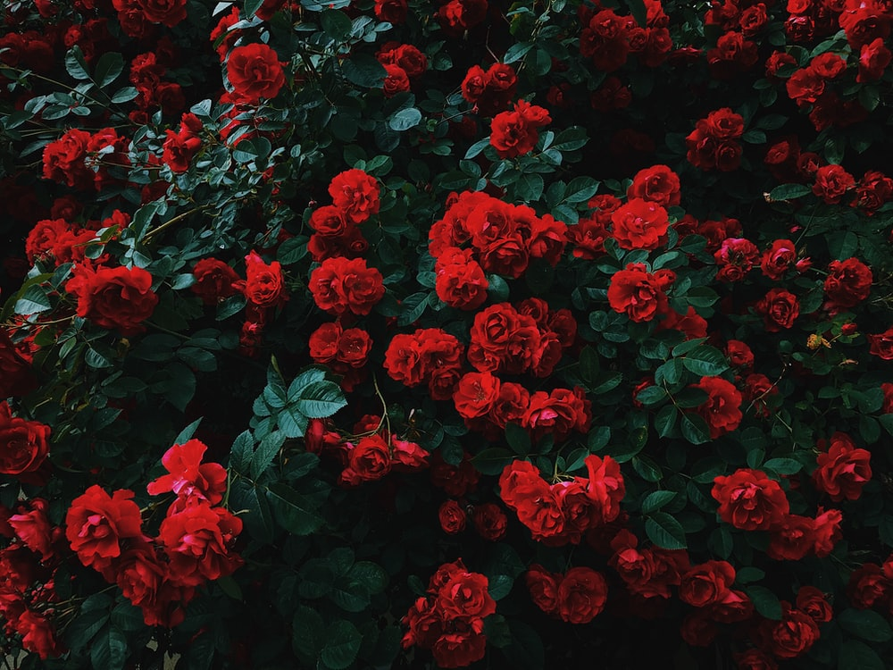 bed of red roses in bloom