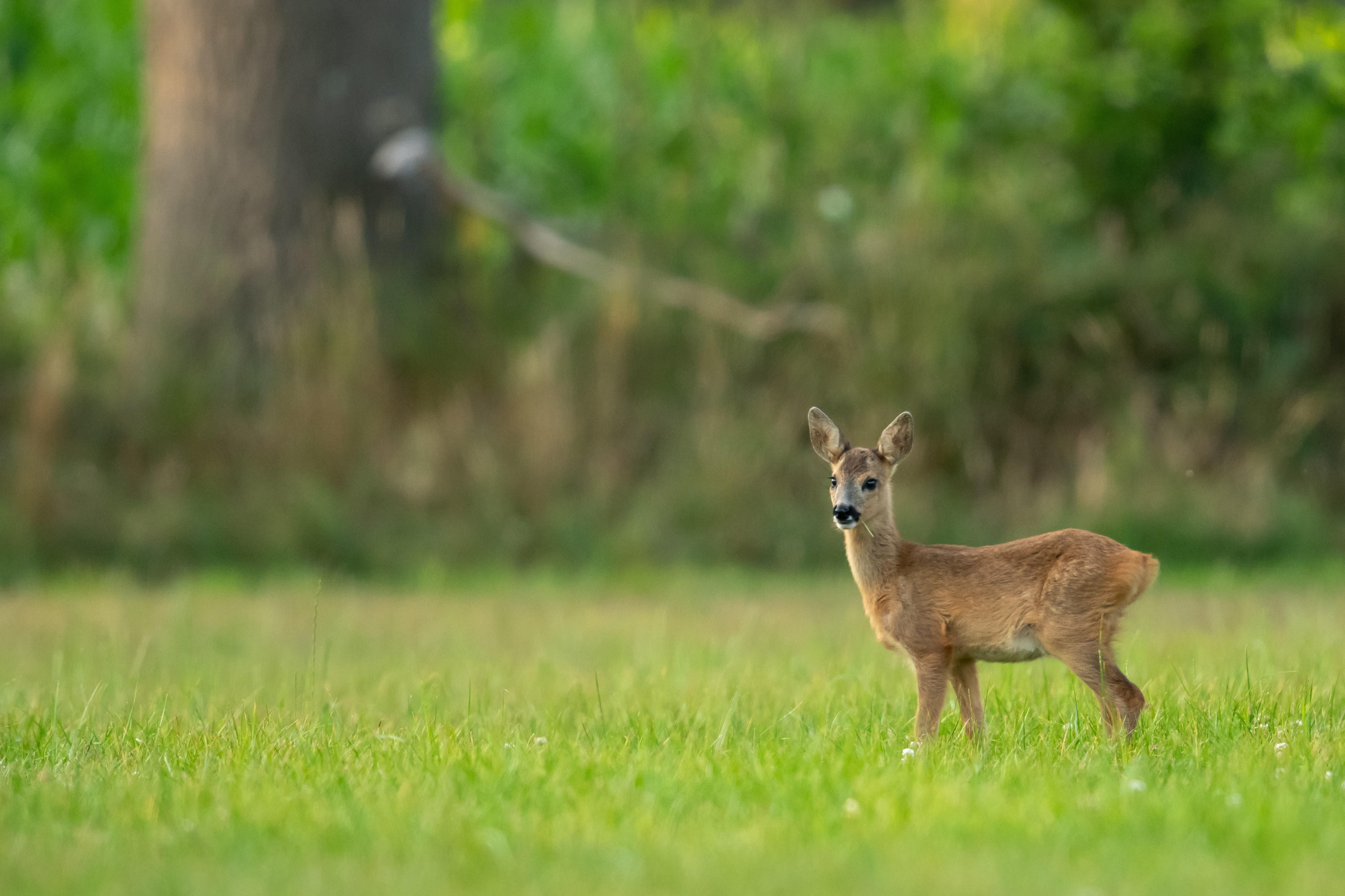 depth of field photo of brown doe