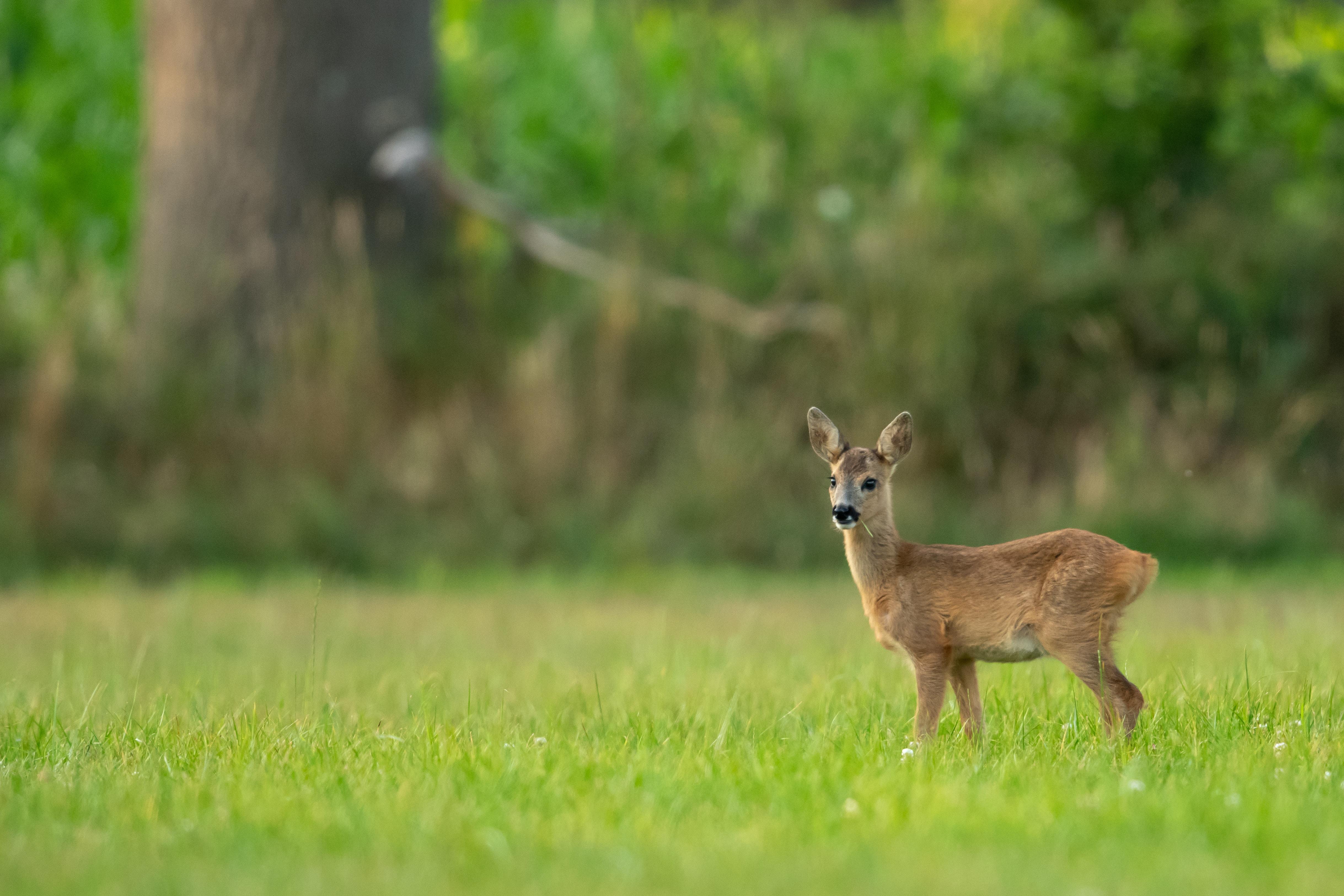 depth of field photo of brown doe