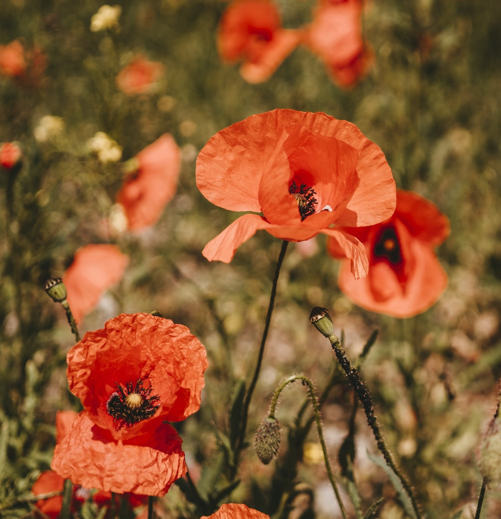 Poppy pictures download free images on unsplash red petaled flower in closeup photography mightylinksfo