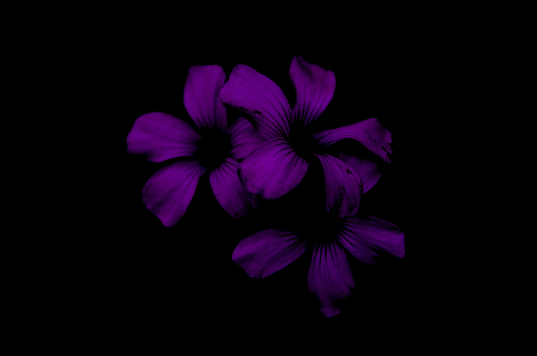 three purple flowers in black background