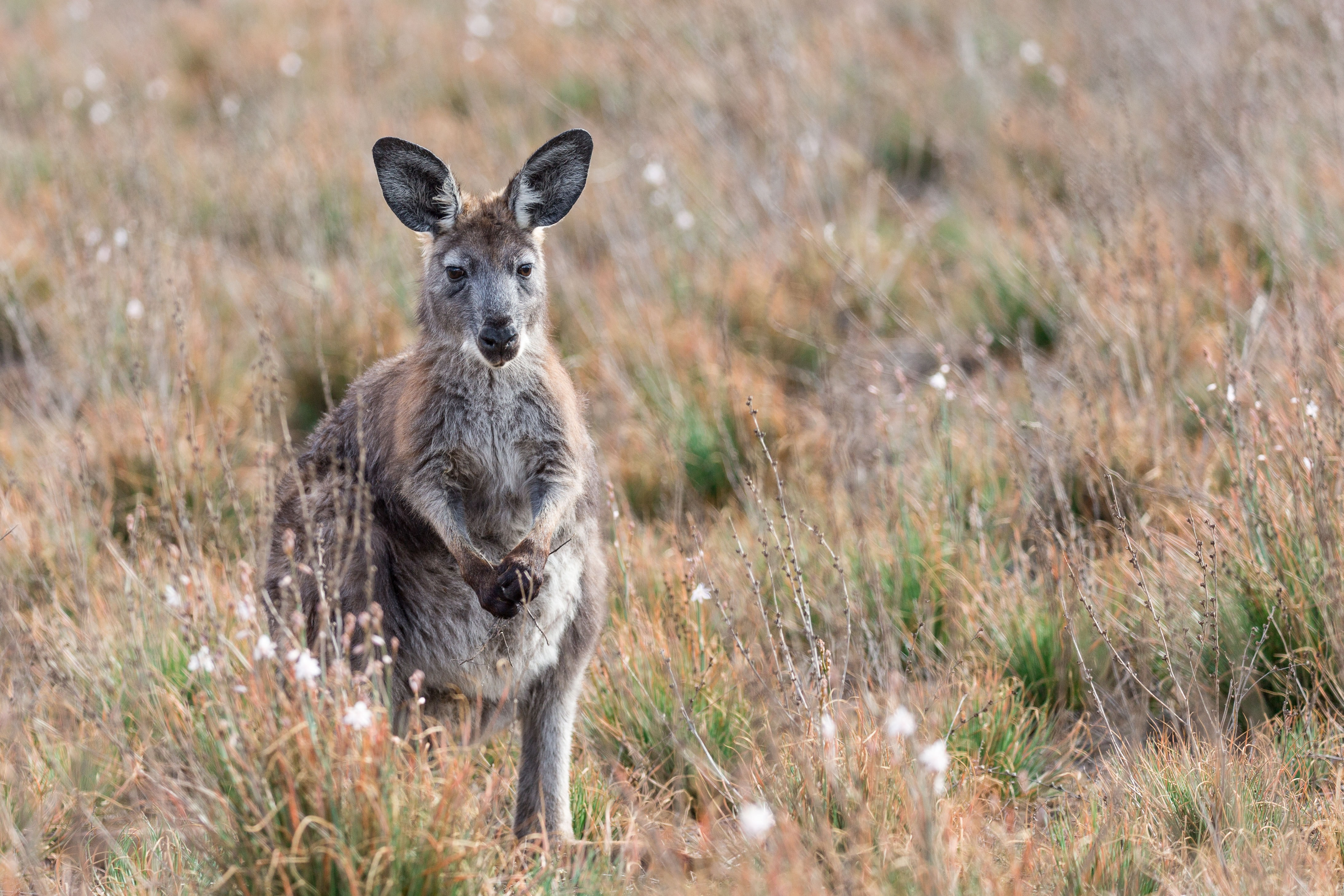 brown kangaroo on green and brown grass field
