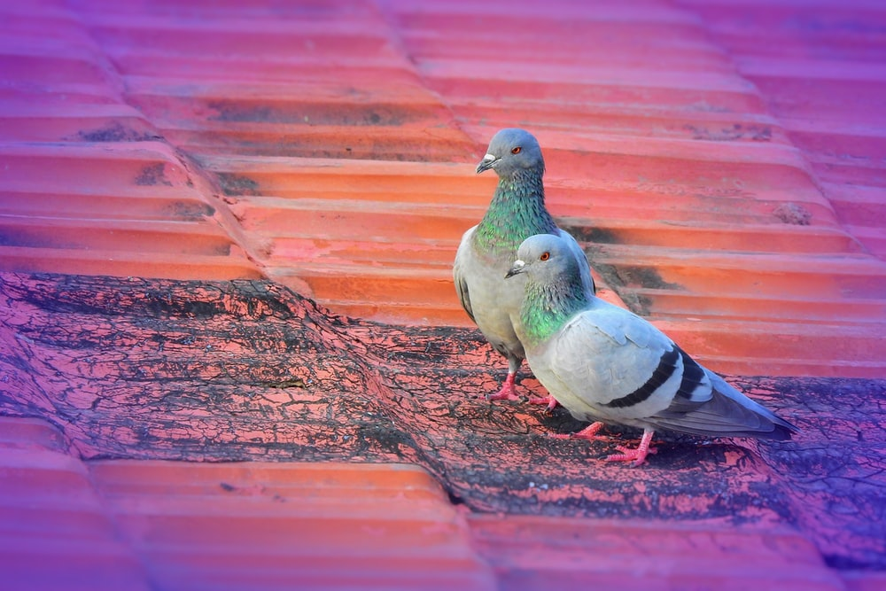 two gray pigeons on brown galvanized roofs