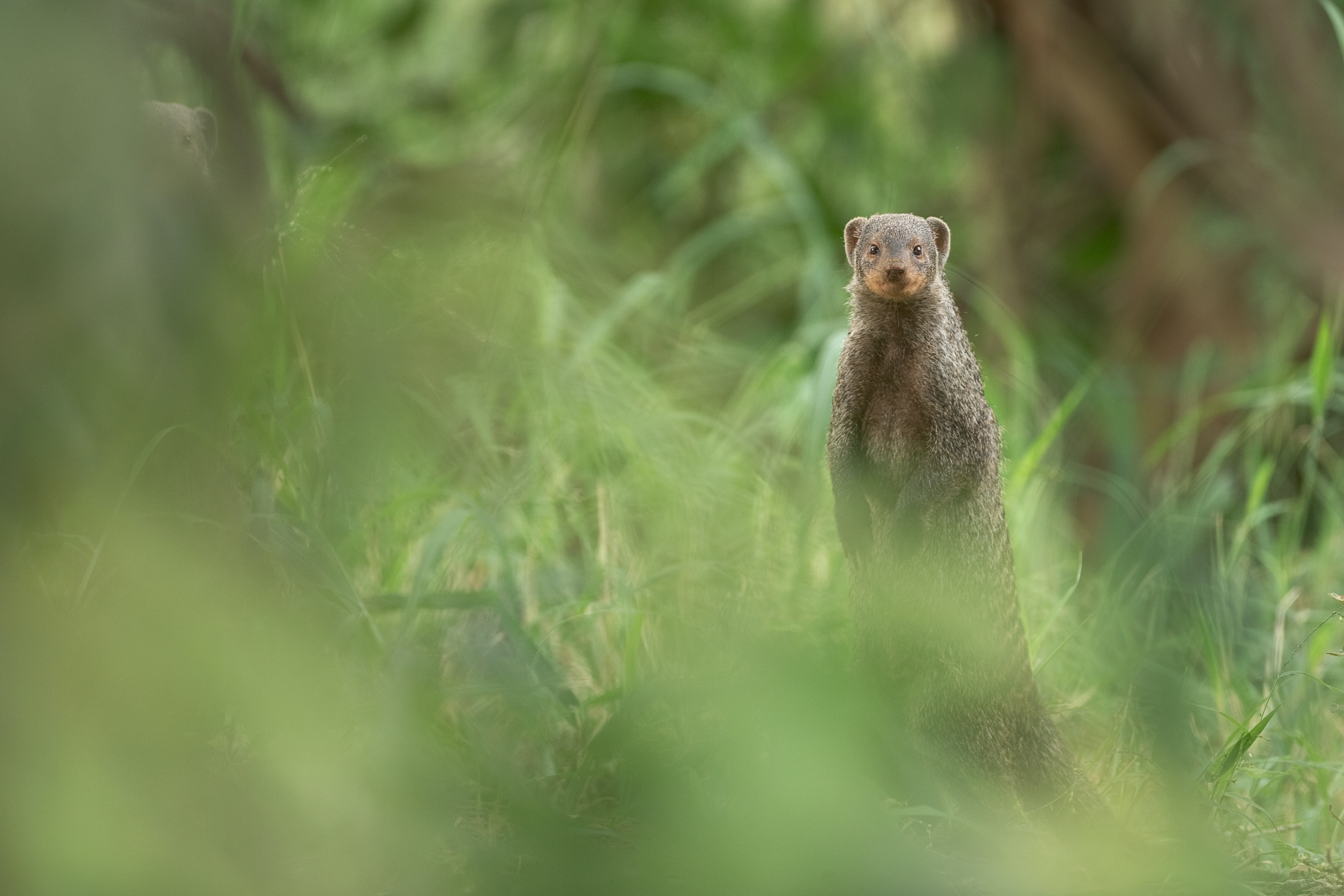 brown rodent standing on gress