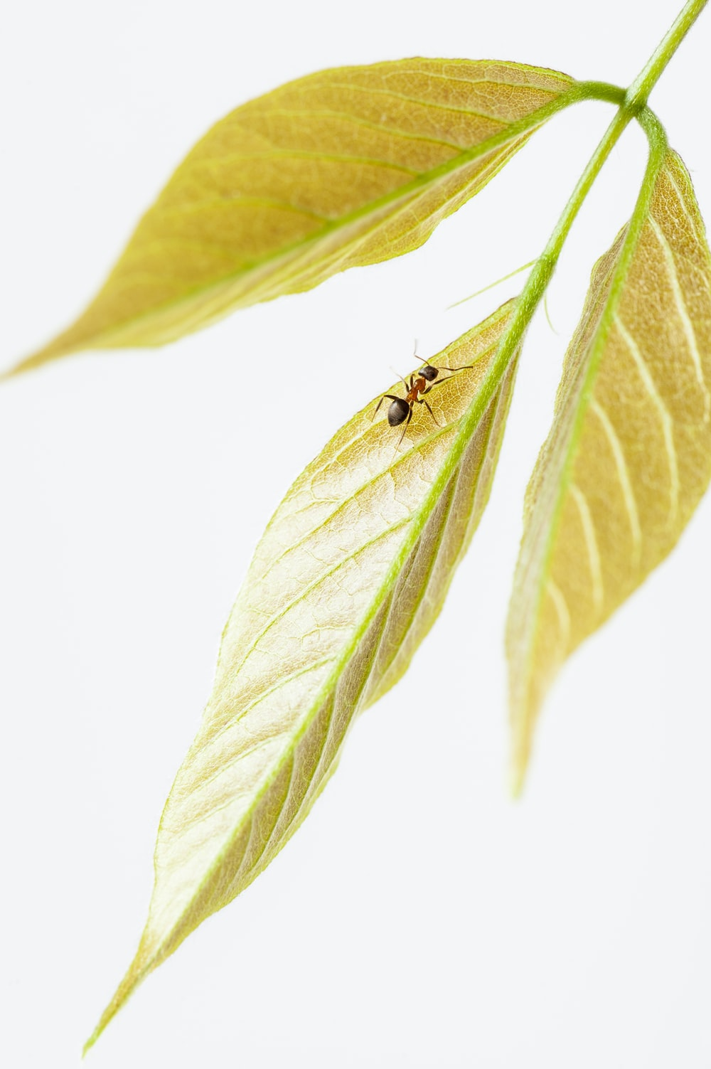 macro photography of brown ant on the leaf