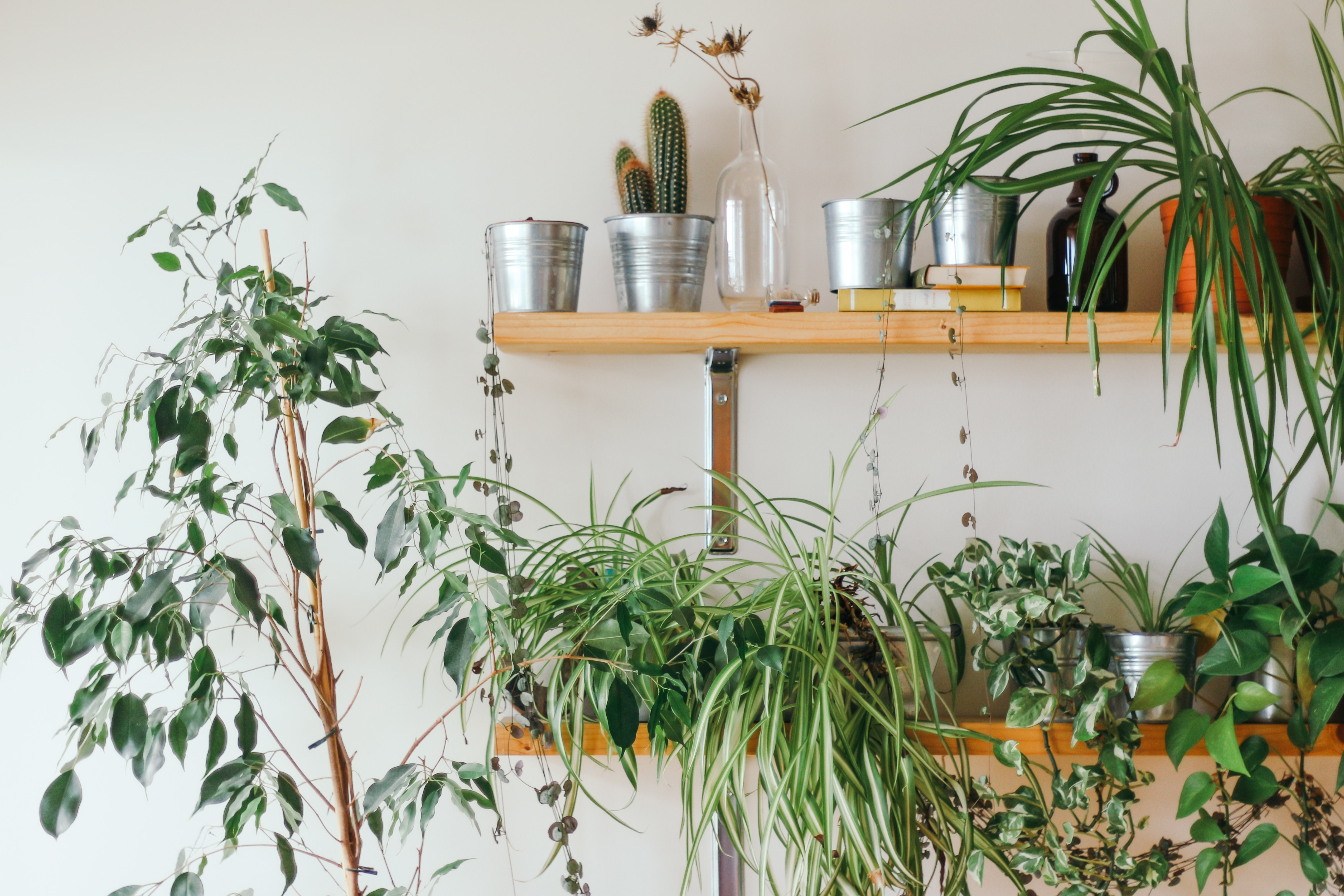 silver planters on wooden wall shelf near weeping fig tree and spider's plant