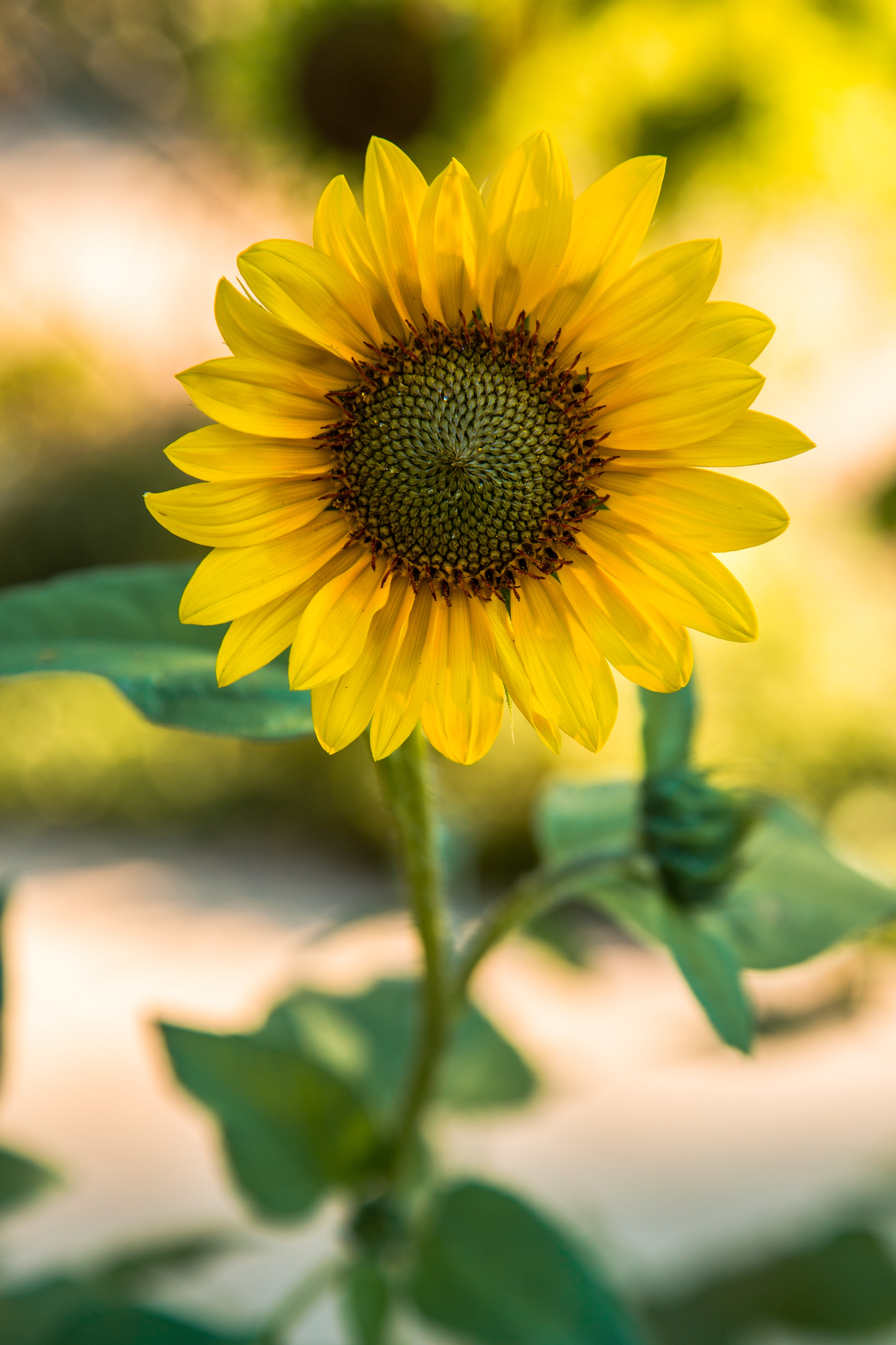closeup photography of sunflower