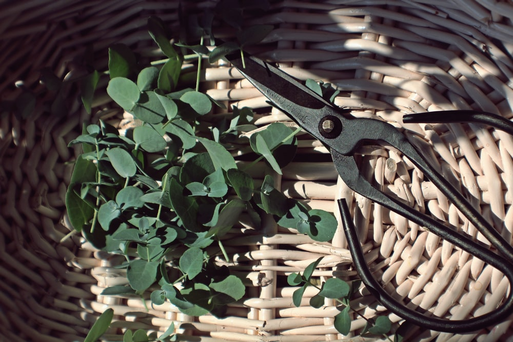 closeup photo of green leaves and scissors