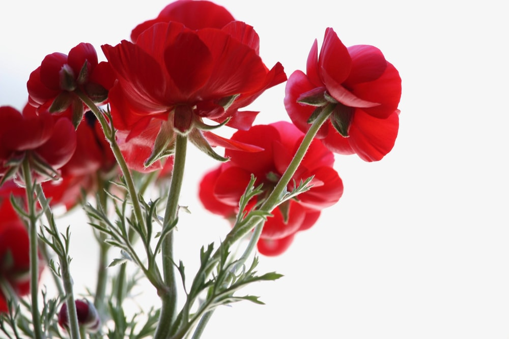 Red Roses Pictures Download Free Images On Unsplash