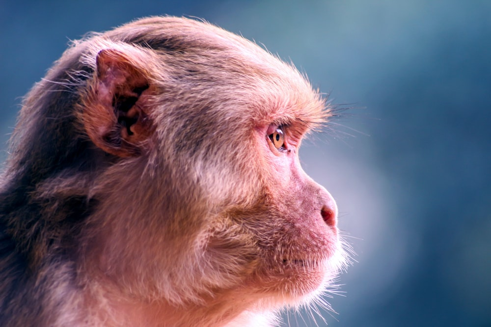 shallow focus photography of brown and black monkey face