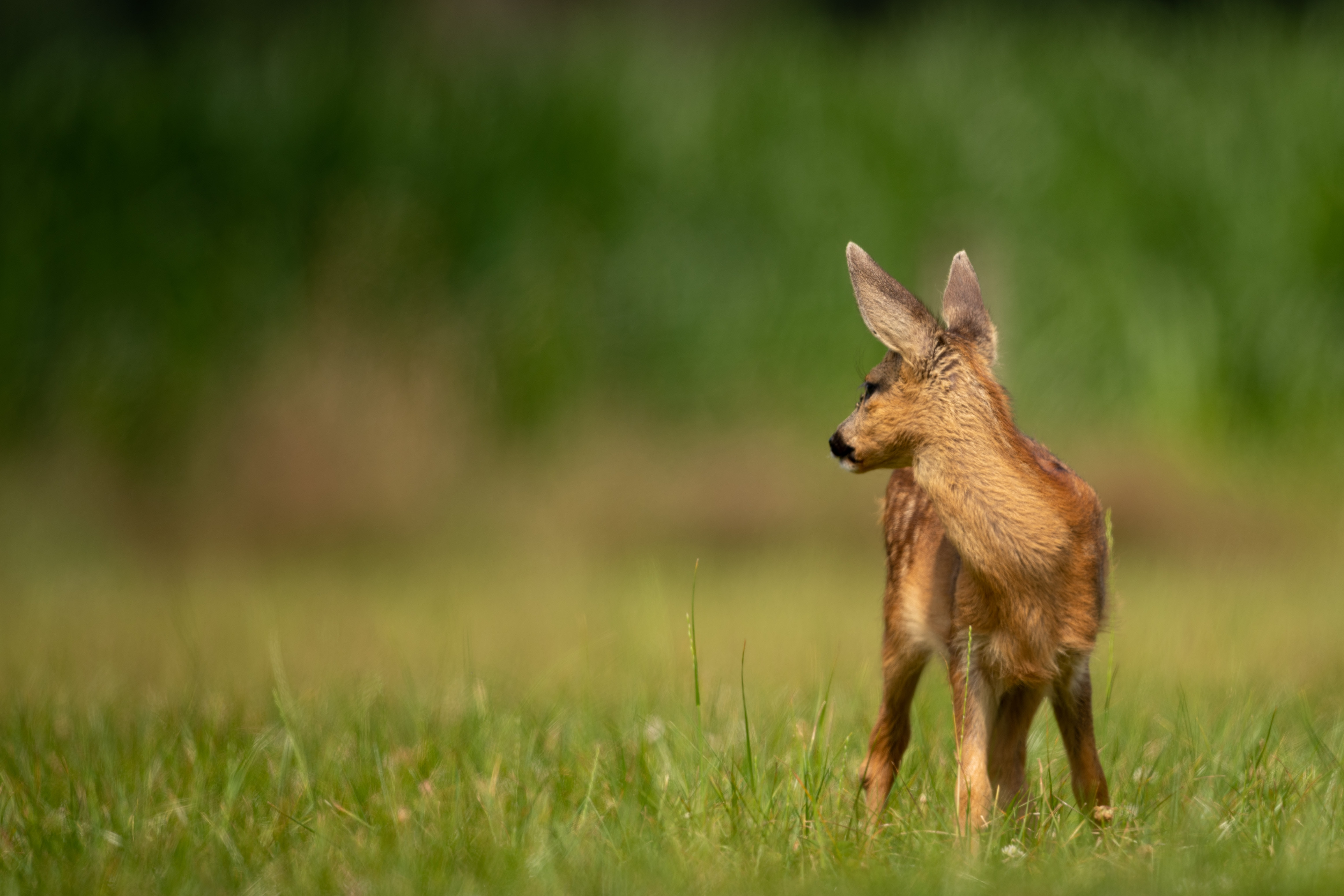 white spotted deer calf on green grass field
