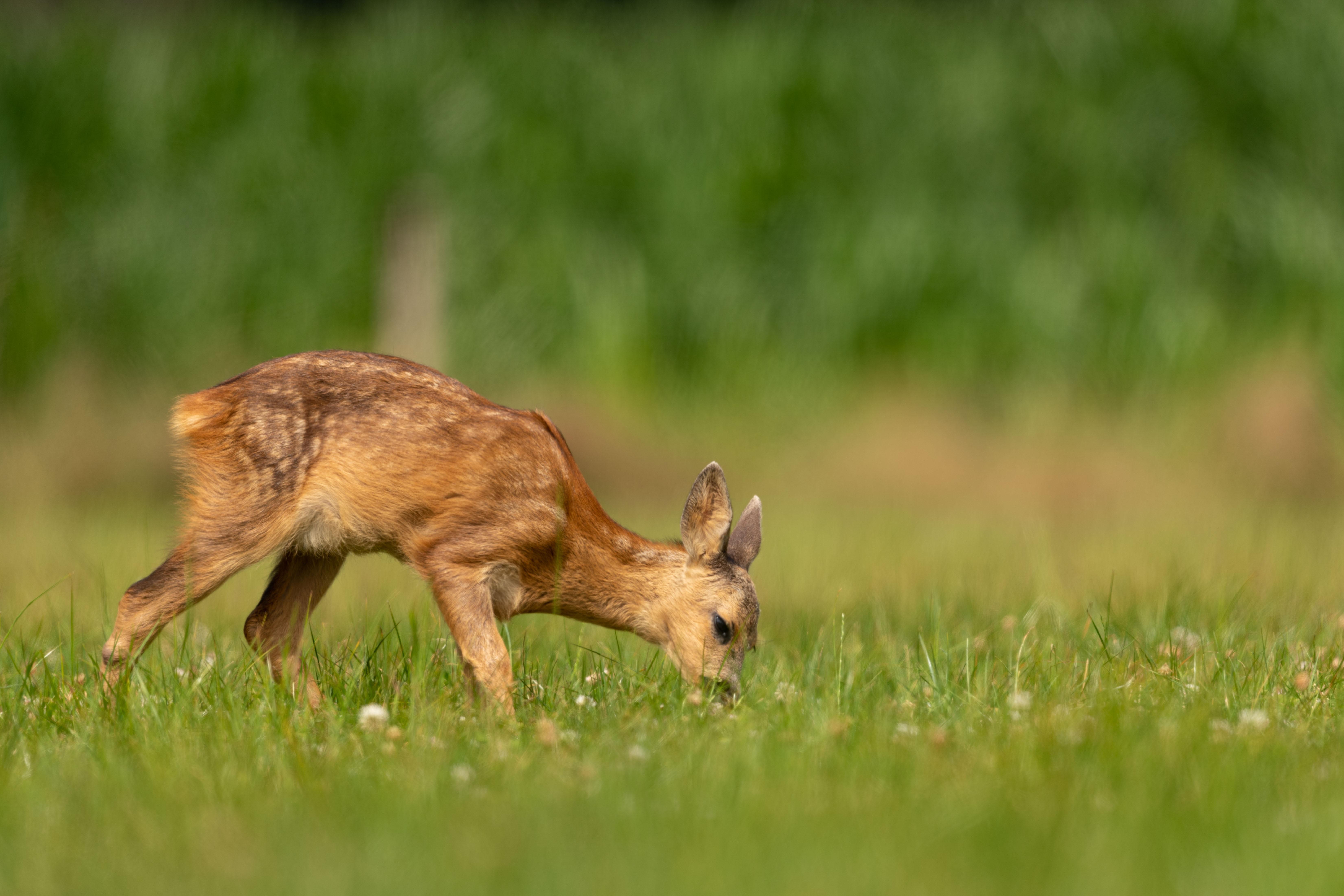 deer standing on grass