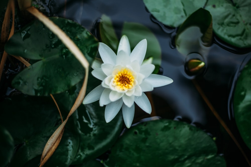 white lotus flower and lily pads