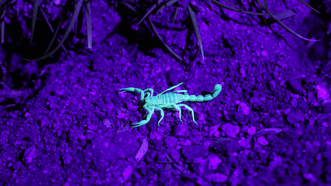 Found this little scorpion crawling around the bottom of a cactus. Because it was nighttime, the only way I could even spot the bug in the first place was with an ultraviolet light. It's much easier to see a glowing scorpion!
