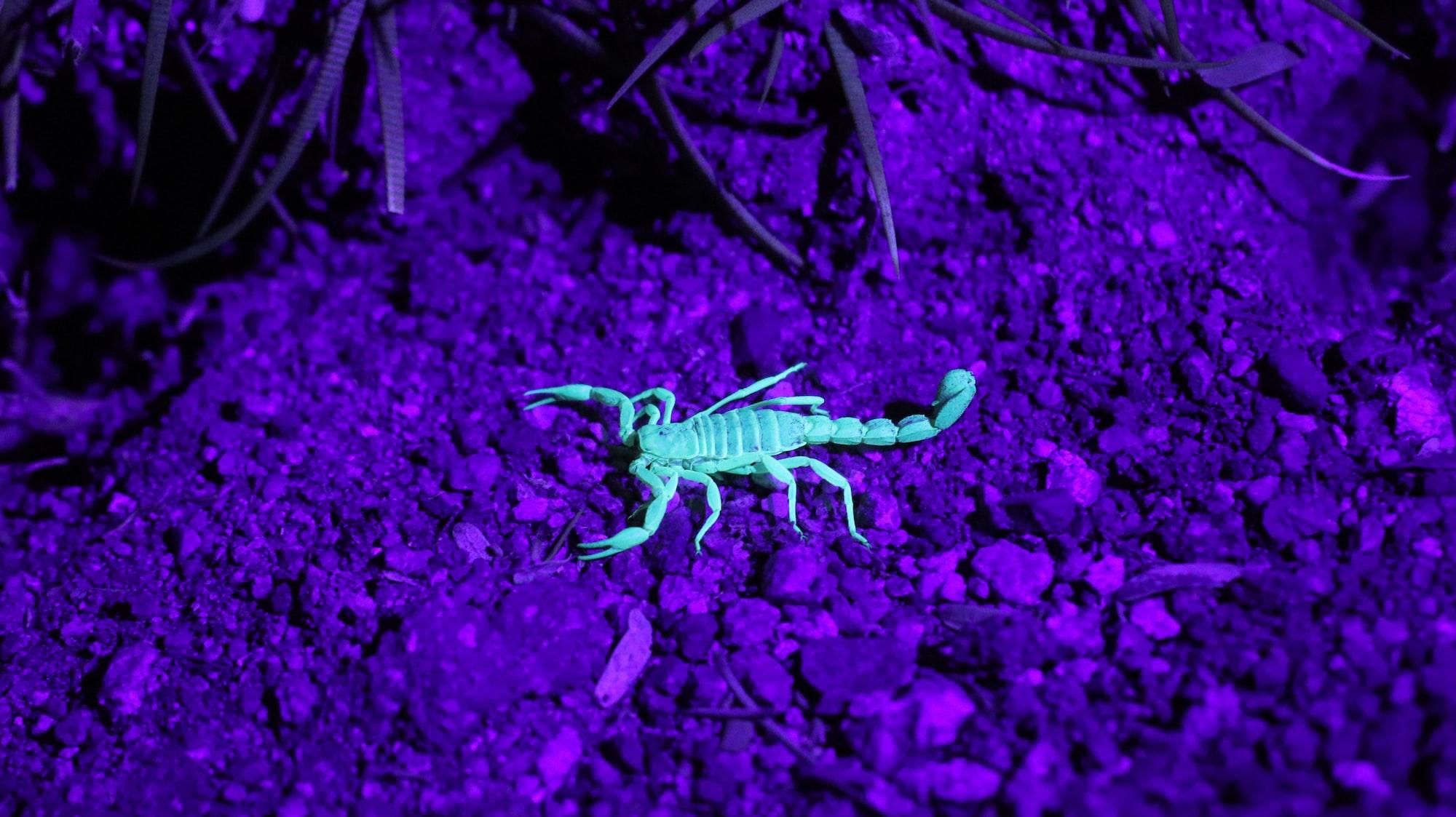Scorpions Part Deux