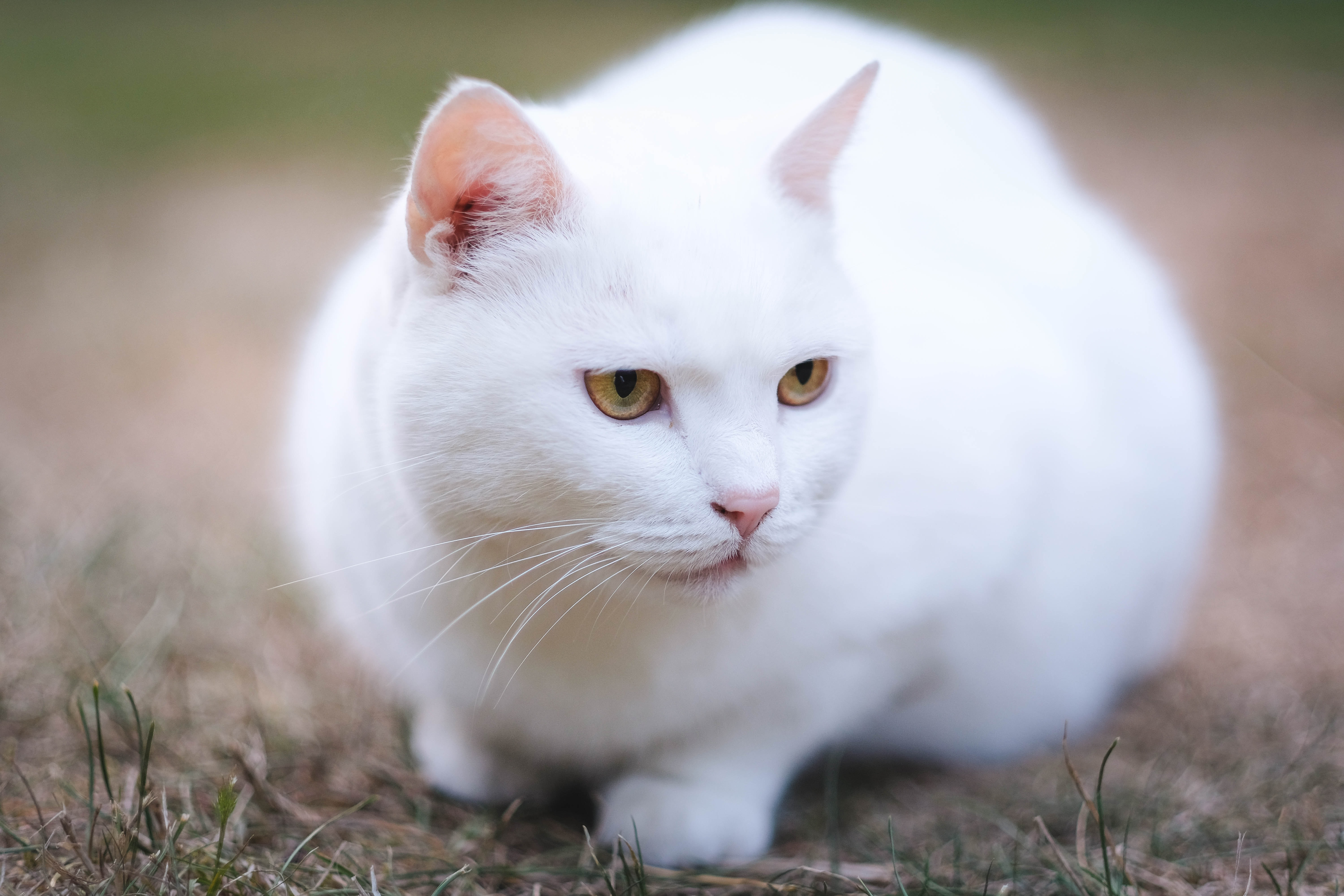 depth of field photo of short-haired white cat