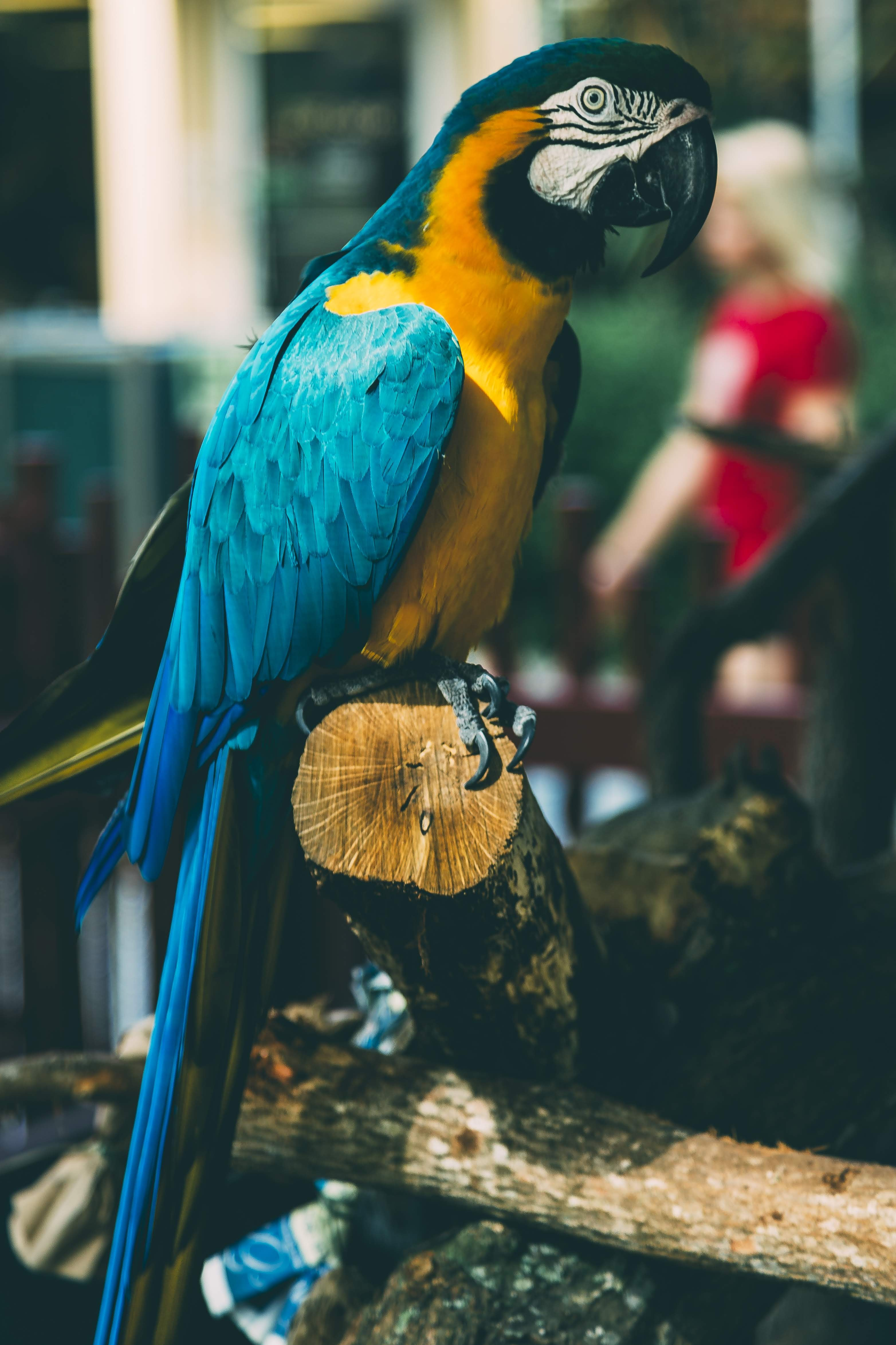 blue and yellow macaw perching on brown log