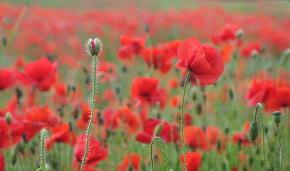 Poppy pictures download free images on unsplash red poppy flower field at daytime mightylinksfo